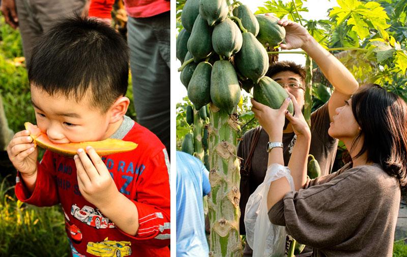 杉林區著名的紅孩兒木瓜有機栽種,甜度又高,在市場上極受歡迎。(圖∕昭億企業 提供)