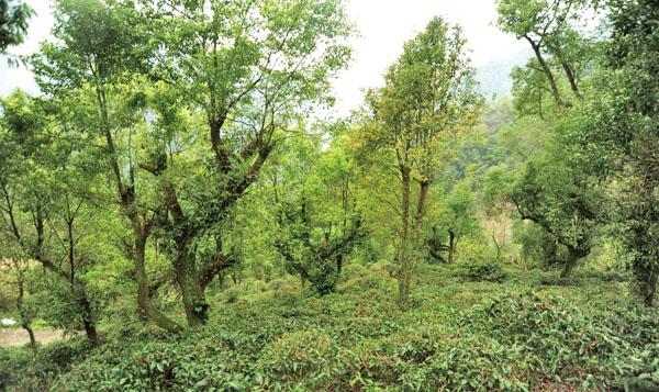 桃源區栽植高海拔原生山茶 Most high-altitude mountain teas are cultivated in Tauyuan.