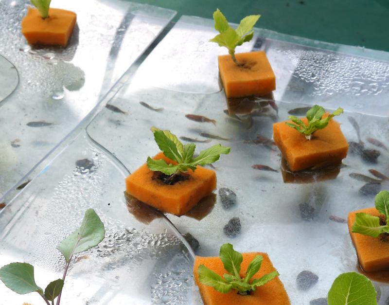 音悅農園溫室裡的魚菜共生裝置格外吸引學生目光。(圖∕李昀諭 攝)