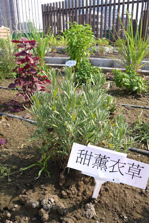 音悅農園的菜圃裡,種植多種菜蔬與香草植物。(圖∕李昀諭 攝)