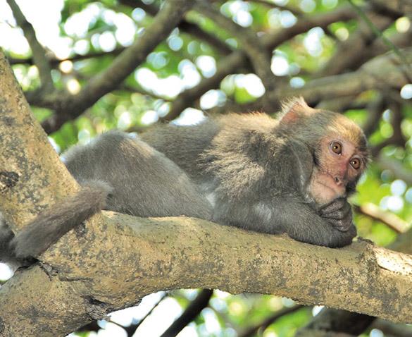 壽山彌猴 Formosan macaque