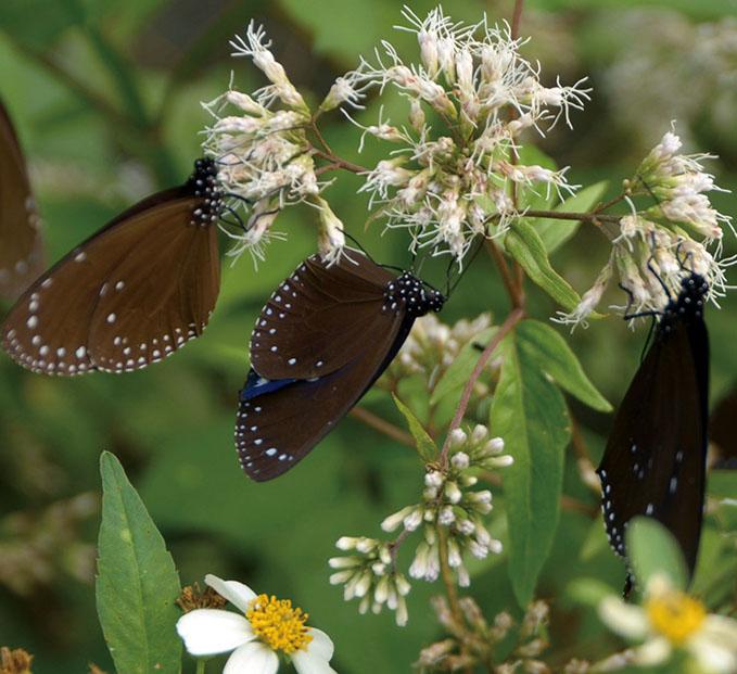 Euploeini butterflies 紫斑蝶