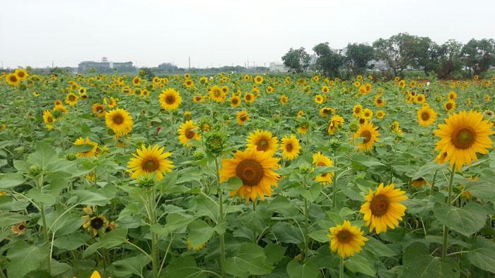今年橋頭花海率先綻放,熱情洋溢的向日葵邀請民眾一同來賞花。(圖/馬千惠 提供)